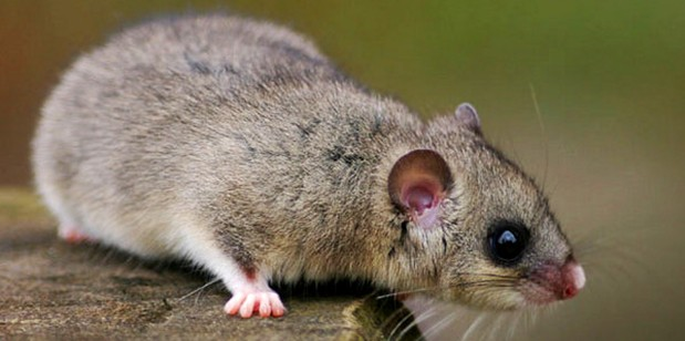 dedetizacao-roedores-rio-de-janeiro-g