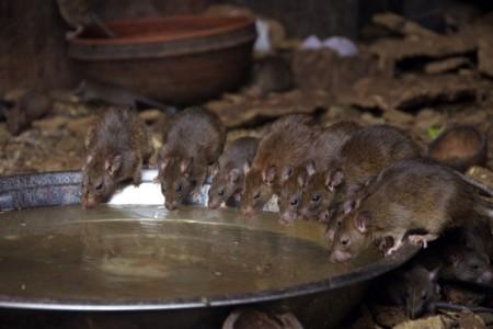 Dedetização de Ratos no Rio de Janeiro