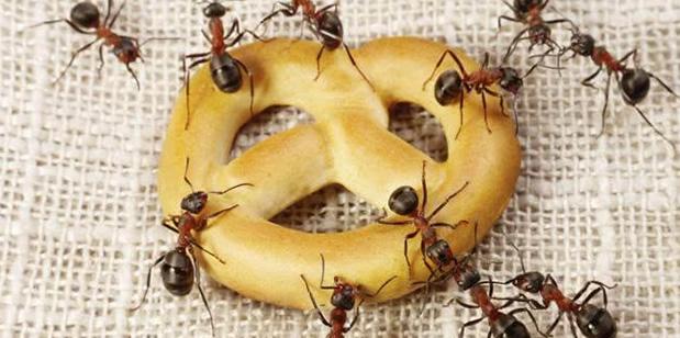 Formigas podem transmitir mais doenças que baratas