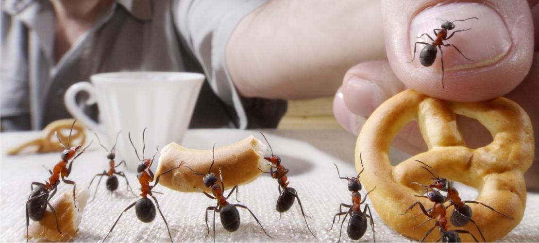 Formiga: perigo real e imediato